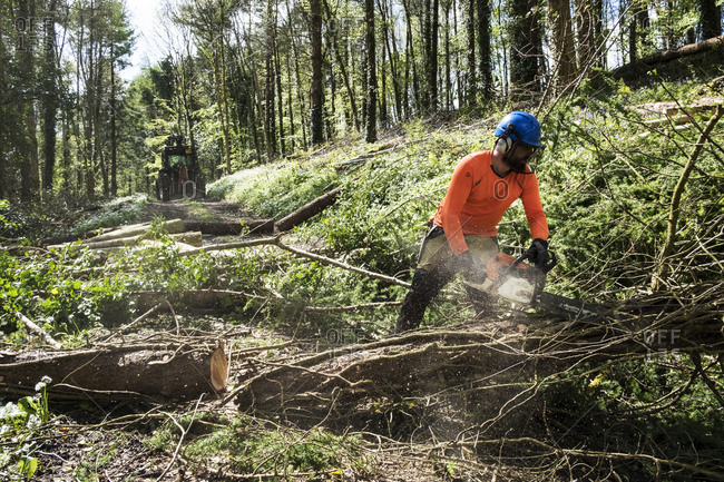 Man wearing bright orange top clearing part of forest Cutting tree trunk with chain saw