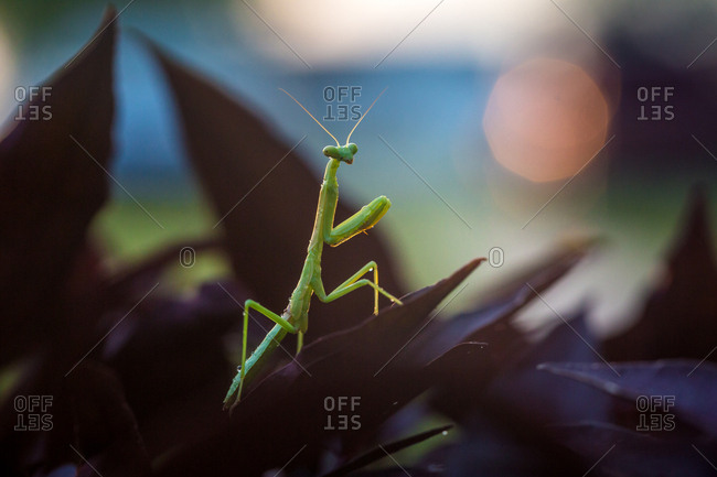 Green mantis on leaf