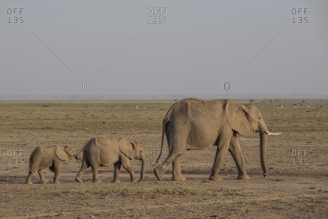 Elephants at dusk in Amboseli National Park, Kenya