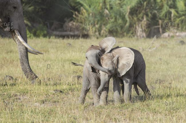 Baby elephants playing in Amboseli National Park, Kenya