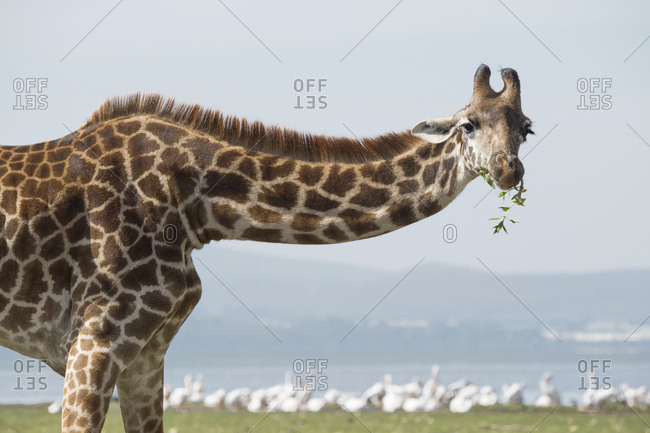 Portrait of a giraffe eating along the shore of Lake Naivasha in the Great Rift Valley