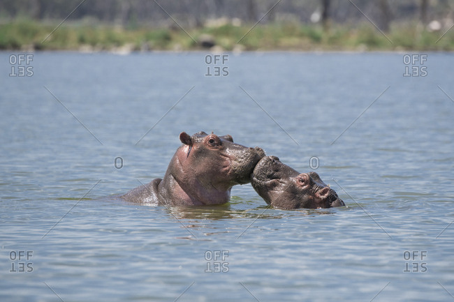 Two hippos appearing to kiss in Lake Naivasha in the Great Rift Valley