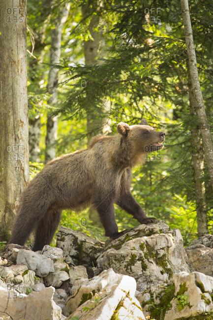 Female brown bear (Ursus arctos) in forest, Inner Carniola, Slovenia