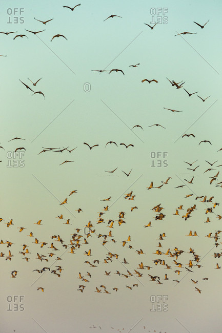 Flock of sandhill crane (Antigone canadensis) birds at sunset, Kearney, Nebraska, USA