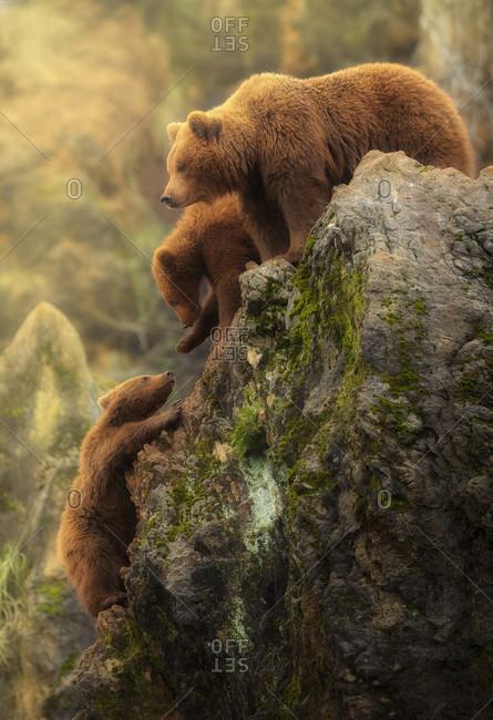 Bear family, Cabarceno, Cantabria, Spain