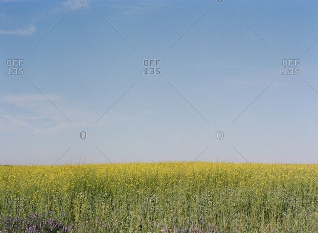 Field under blue sky with yellow wildflowers