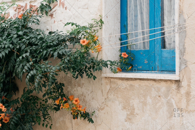 Orange flowers growing beside blue window in Marettimo, Italy