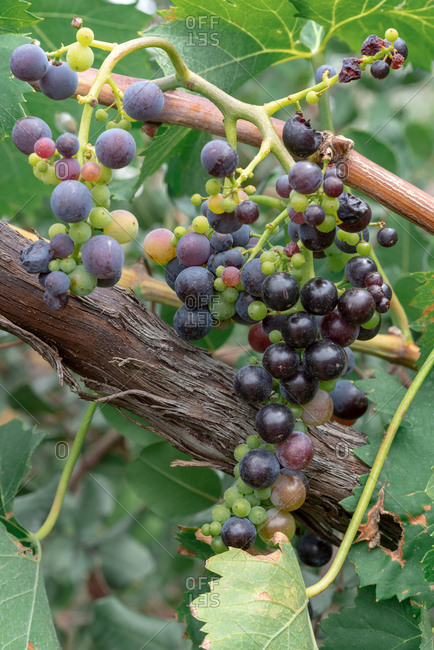 Grapes growing on a vine