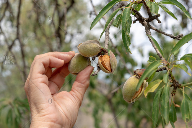Hand picking almonds from a tree