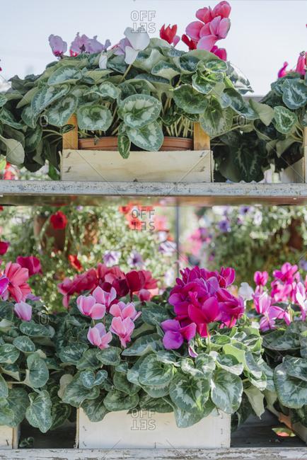 Cyclamen flower on flower market stand.