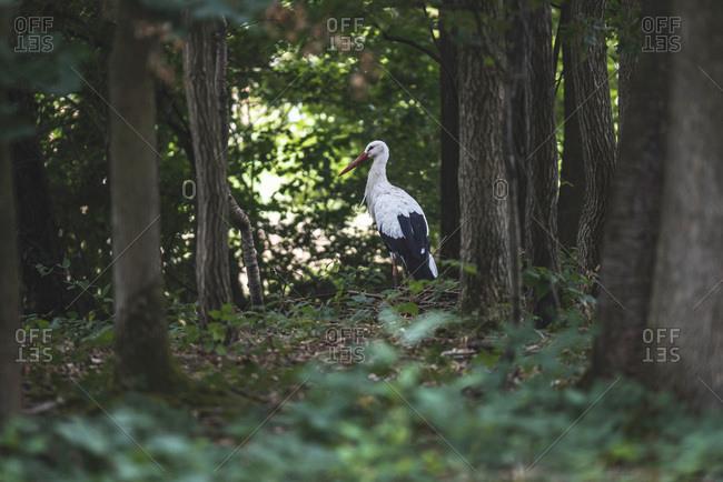 White stork walking in forest