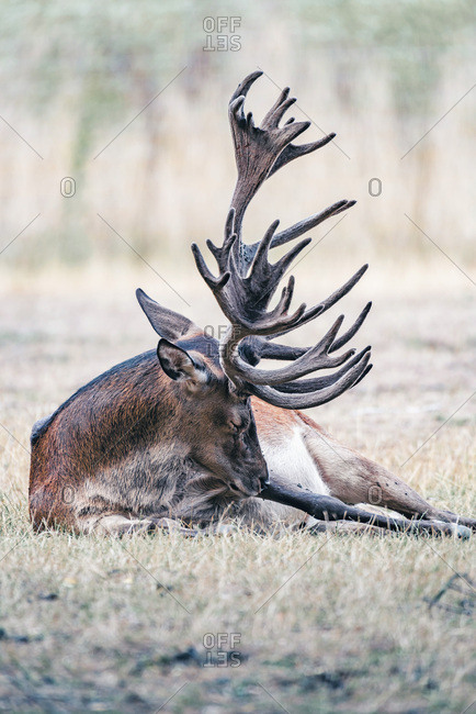 Large buck resting in the grass