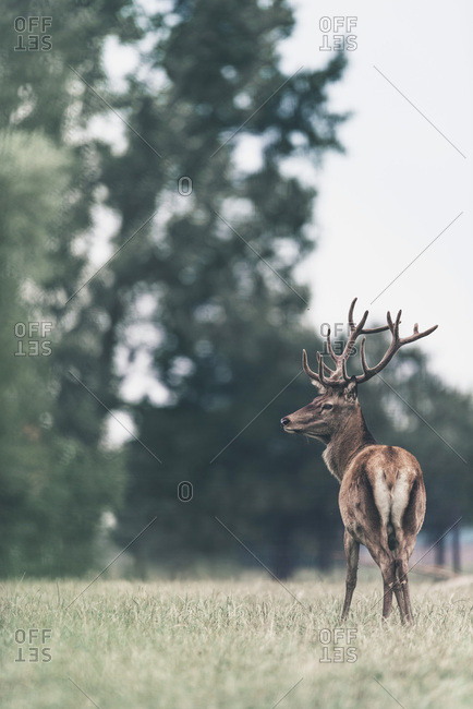 View of the rear end of a large buck in a field