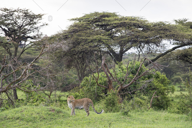 Leopard at Maasai Mara, Kenya