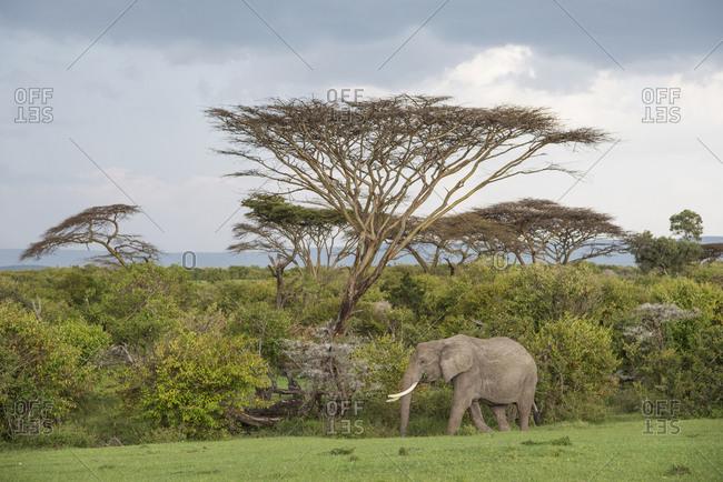 Elephant in front of a stormy sky at Maasai Mara, Kenya