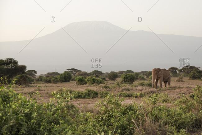 Elephant in front of Mount Kilimanjaro at Amboseli National Park, Kenya