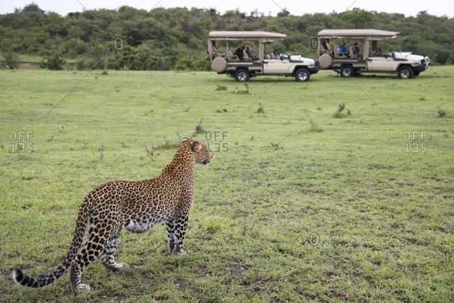Leopard with two safari vehicles in the distance at Maasai Mara, Kenya