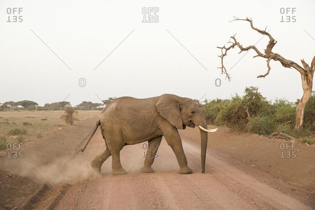 Elephant crossing the road in Amboseli National Park, Kenya