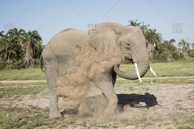 Elephant spraying itself with dirt in Amboseli National Park, Kenya