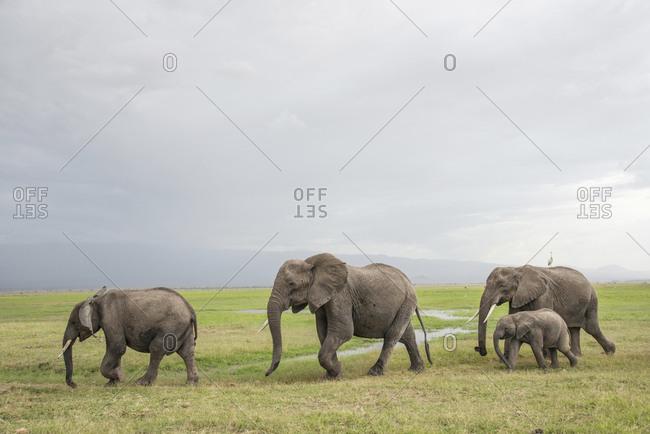 Elephants on the move in Amboseli National Park, Kenya