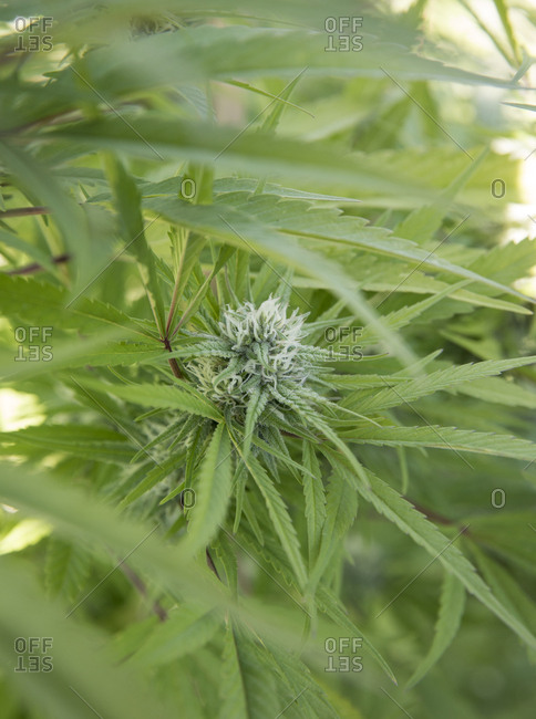 Hemp plant with flowering buds