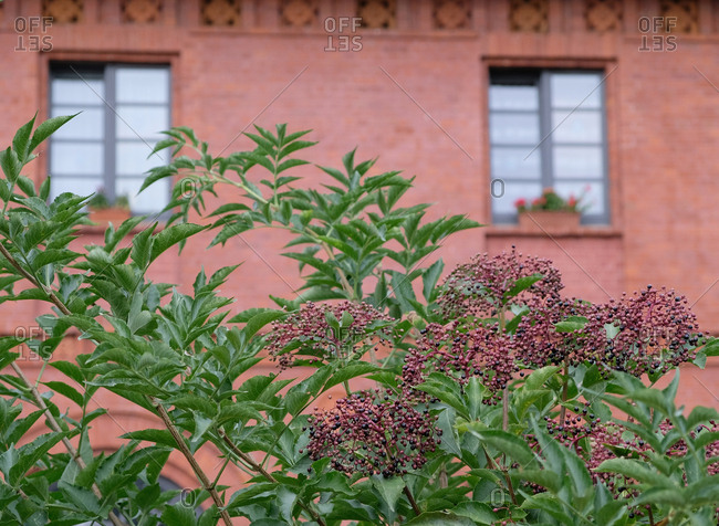 Elderberry bush in front of red brick building