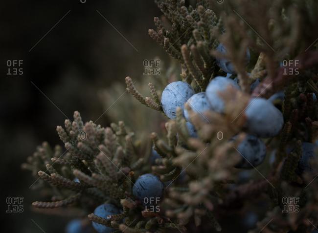 Berries on a red cedar tree