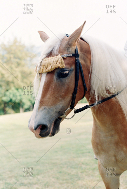 Brown horse with white mane and decorative harness
