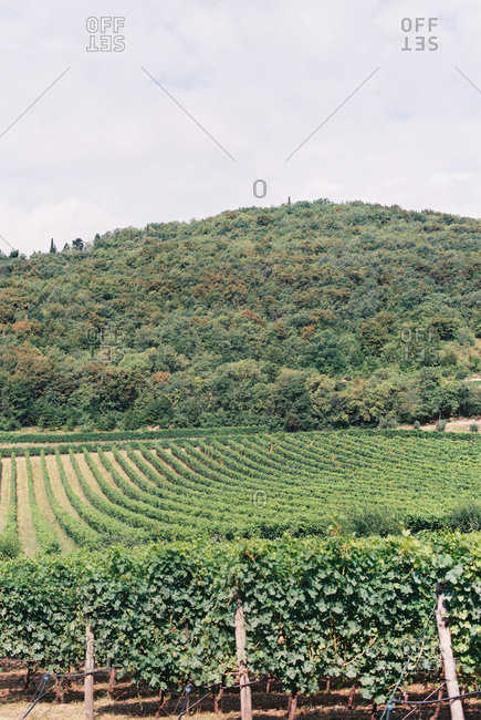 Rolling hills of a vineyard landscape in Italy