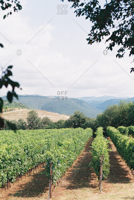 View of a vineyard landscape in Italy