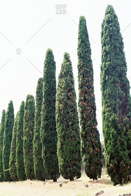 Tall trees in Rome