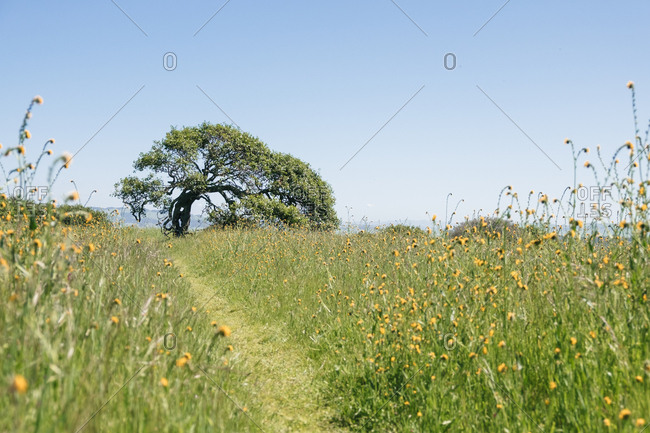 Tree in a field with yellow wildflowers