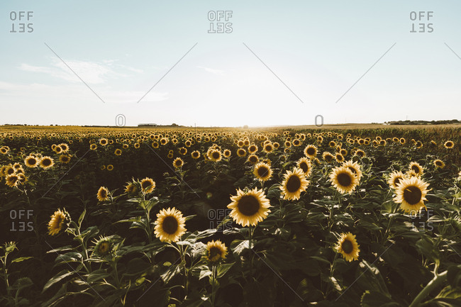Farm field of blooming sunflowers