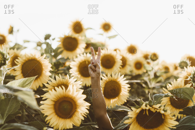 Young woman making peace sign with hand in a field of tall sunflowers