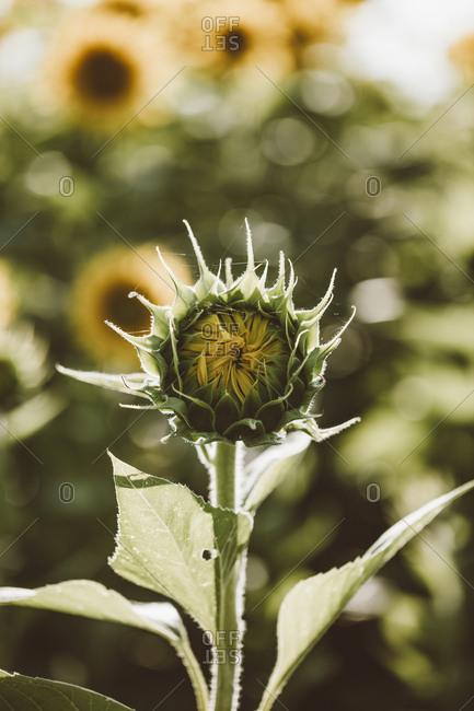 Sunflower bud in field