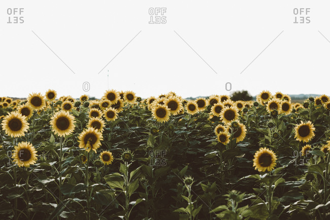 Blooming sunflowers in a farm field