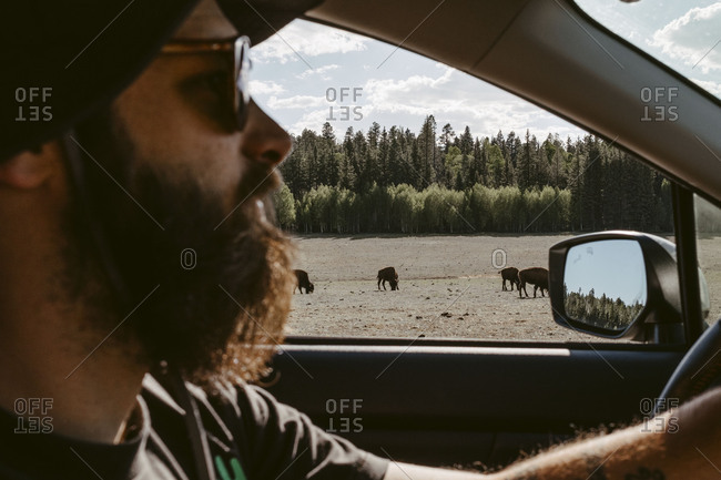Man driving past buffalo at grand canyon National Park