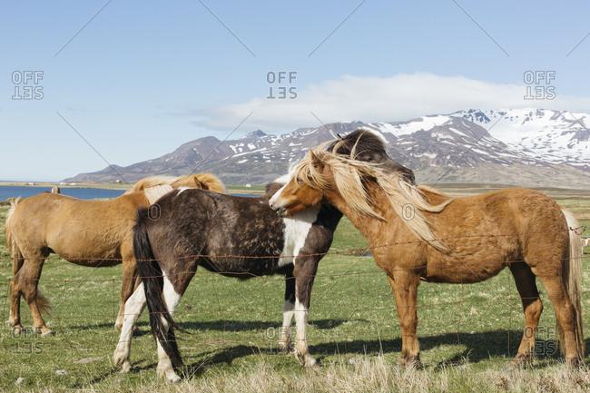 Icelandic horses by north Iceland