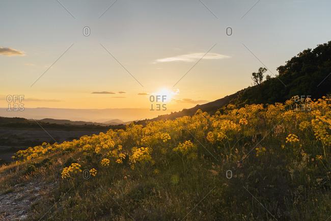 Beautiful blooming yellow wildflowers and sunset