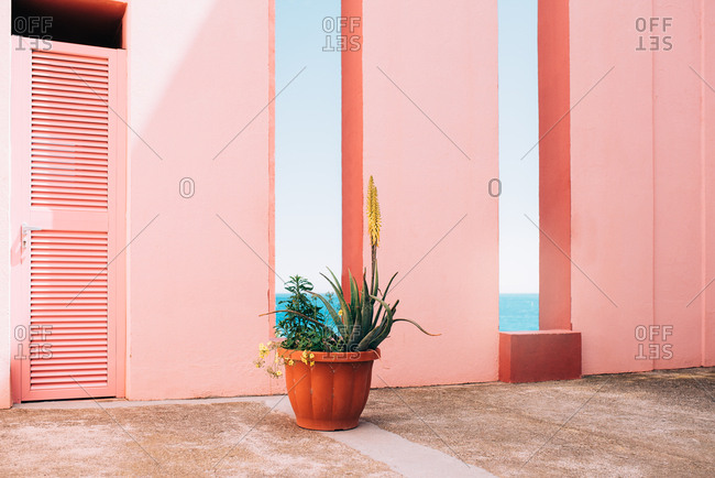 Yellow aloe flower in a pink building background