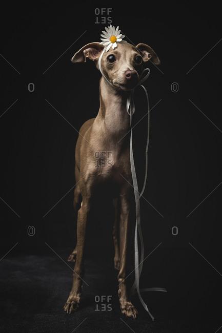 Studio portrait of little italian greyhound dog. Friendly and fun