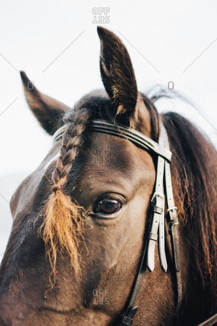Close-up horse in bridle with braided mare hair looking at camera