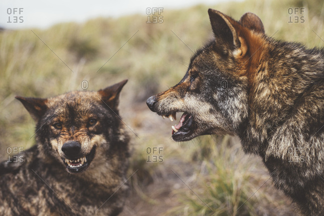Two wolves roaring on each other