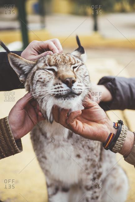 Crop hands stroking lynx