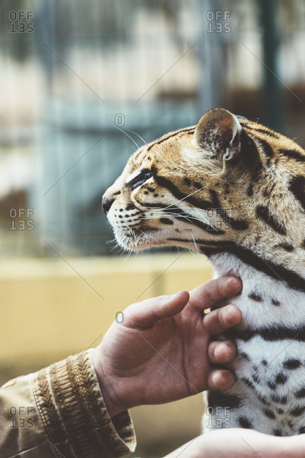Hands of unrecognizable person stroking stained leopard in the zoo.