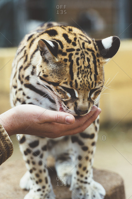 Hand stroking leopard in the zoo