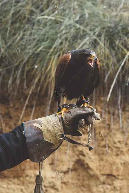 Man holding falcon on hand