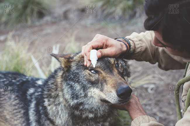 Adult vet man sitting and dripping to the eye of the wolf.
