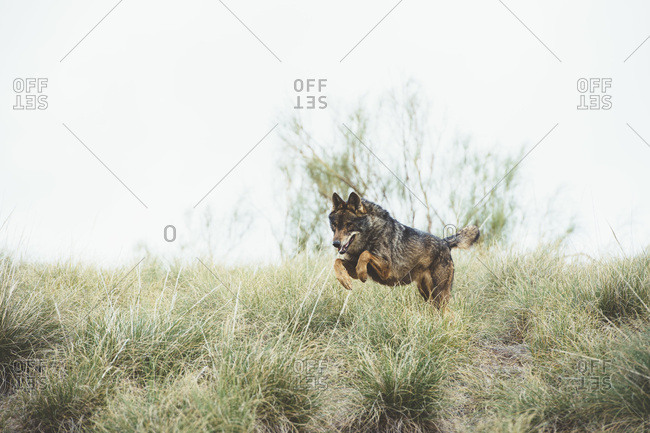 Brown fur wolf having fun and jumping on green grass in the reserve.