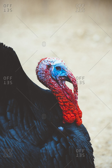 Side view of black feathered turkey with colorful head on a farm.